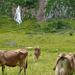 Kühe und Quelle in der Thurwies