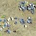 Blaue Miniflieger am Wegrand...