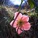 Eine Anemone spielt mit dem Licht (Foto [U sglider])