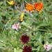 ... wurden ergänzt von intensiven Männertreu, umgeben von bereichernden farbenfrohen weiteren Alpenblumen