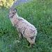 Schaf oder Steinbock? :-) Muss wohl sein Kinderpelzmantel noch verlieren!