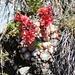Blütenpracht auf dem Usser Gornerli: Spinnweb-Hauswurz (Sempervivum arachnoideum)