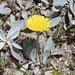 Blütenpracht auf dem Usser Gornerli:  Lepeletiers Habichtskraut (Hieracium peletierianum)  <br /> <br />Bin mir aber nicht 100% sicher, vielleicht kann mir jemand die Art bestätigen.