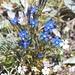 Blütenpracht auf dem Usser Gornerli: Schnee-Enzian (Gentiana nivalis).