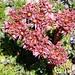 Blütenpracht auf dem Usser Gornerli: Berg-Hauswurz (Sempervivum montanum). <br /> <br />Bin mir aber nicht 100% sicher, vielleicht kann mir jemand die Art bestätigen.