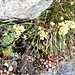 Blütenpracht auf dem Usser Gornerli: Rispen-Steinbrech (Saxifraga paniculata).