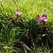 Pedicularis kerneri (Kerners Läusekraut)