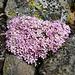 Androsace alpina (Alpen-Mannsschild)