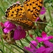 Ein Schmetterling labt sich an den wenigen Bergblumen.
