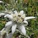 Stella alpina (Leontopodium alpinum).