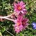 Semprevivo montano (Sempervivum montanum L).