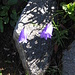 Campanula scheuchzeri Vill.<br />Campanulaceae<br /><br />Campanula di Scheuchzer.<br />Campanule de Scheuchzer.<br />Scheuchzers Glockenblume.