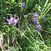 Phyteuma hemisfericum L.<br />Campanulaceae<br /><br />Raponzolo alpino.<br />Raiponce hemisférique.<br />Halbkugelige Rapunzel.
