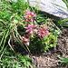 Sempervivum montanum L.<br />Crassulaceae<br /><br />Semprevivo montano.<br />Joubarbe des montagnes.<br />Berg-Hauswurz.