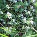 Euphrasia alpina Lam.  ???