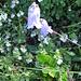 Campanula barbata L. Campanulaceae  Campanula barbata. Campanule barbue. Bärtige Glockenblume.