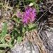Centaurea nervosa Wild.<br />Asteraceae<br /><br />Fiordaliso alpino.<br />Centaurée nervée.<br />Federige Flockenblume.