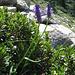 Phyteuma betoncifolium Vill.<br />Campanulaceae<br /><br />Raponzolo montano.<br />Raiponce à feuilles de bétoine.<br />Betonienblättrige Rapunzel.