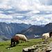 Schafe gibt es in beiden Farben und auch als Latte Macchiato