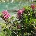 Alpenrosen am Blauseeli