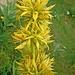 Ein Gelber Enzian. Er wird hauptsächlich zum Schnapsbrennen verwendet.