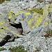 Dieser Mäuserich wurde wohl vom Käseduft angelockt. :-D Hat sich erst unter dem Stein verkrochen, dann ein paar mal zum Angriff geblasen und sich nach ein paar Schritten wieder verkrochen. Schliesslich hat er allen Mut gefasst und ist an mir vorbeigezischt.
