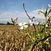 Acker-Rettich <br />(Raphanus raphanistrum), auch Hederich oder Wilder Rettich genannt, ist eine Pflanzenart aus der Familie der Kreuzblütengewächse (Brassicaceae). Trotz seines Namens bildet er keine verdickte Wurzel und ist kein Vorfahre des Garten-Rettichs, sondern lediglich mit ihm verwandt.