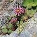in einer Felsritze wächst dekorativ ein Hauswurz