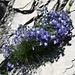 ... und bei Tierbalm ein reizendes Campanula-Polster auf Schiefergestein
