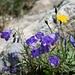 und weitere Glockenblumen in der Kraxelstelle unterhalb des Wängihorns