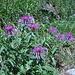 Flora alpina -  Centaurea montana