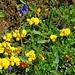 Hornklee mit Alpen-Ehrenpreis (Lotus alpinus, Veronica alpina)