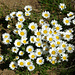 Alpenmargerite (Leucanthemum alpina)