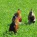 La passeggiata dei galli.