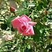 auch duftende Rosen findet man hier
