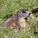 in der Nähe von Campsut erstaunlich geduldige Murmeltiere