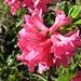 Alpenrosenblüte - eine schöne Jahreszeit!