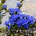 Bayerische Enzian (Gentiana bavarica)?