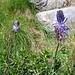 Phyteuma betoncifolium Vill.<br />Campanulaceae<br /><br />Raponzolo montano.<br />Raiponce à feuilles de bétoine.<br />Betionenblättrige Rapunzel.<br />