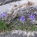 Phyteuma hemisfericum L.<br />Campanulaceae<br /><br />Raponzolo alpino.<br />Raiponce hémisférique.<br />Halbkugelige Rapunzel.