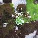 Saxifraga stellaris L.<br />Saxifragaceae<br /><br />Sassifraga stellata.<br />Saxifrage étoilée.<br />Sternblütiger Steinbruch.