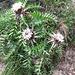 Carlina vulgaris L.<br />Asteraceae<br /><br />Carlina comune.<br />Carline commune.<br />Gewoentliche Golddistel