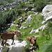 parte delle bellissime e variegate 180 capre incontrate