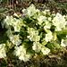 Wilde Primel auf dem Chrüzhubel. Wissenschaftlich heisst die Pflanze eigentlich Stängellose Schlüsselblume (Primula vulgaris).