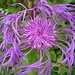 Centaurea nervosa o Fiordaliso alpino