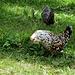 auf Flis-Schafboden, lustig bunte Hühner