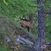 Gämsen im stillen Bergwald