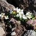 Blüten der Steinbrechart Saxifraga mollis. Die Pflanze wächst hier noch weit oberhalb 3000m.