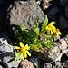 Die Pflanze, welche ich auf etwa 3200m antraf, konnte ich leider nicht bestimmen. Wer weiss mehr?