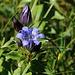 Enzianblüten. Wahrscheinlich handelt es sich um die Art Gentiana septemfida. Vielleicht kann jemand die Spezies bestätigen?